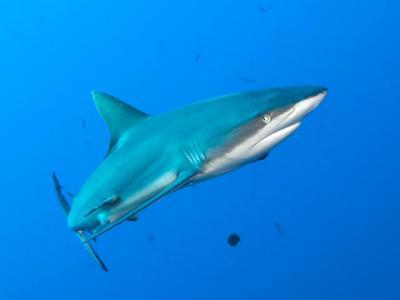 Акулы угрожают Приморью